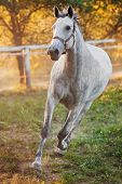 stock photo of white horse  - Portrait of a running horse - JPG