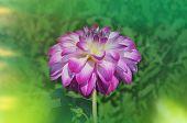 Dahlia Vancouver Flower poster
