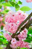 Постер, плакат: Розовый abloom японская вишня Сакура цвет в солнечный весенний день с красивой Боке