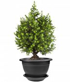 stock photo of conifers  - Juniper Conifer Sapling Tree in the pot isolated on white - JPG