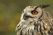 Indian Eagle Owl Hissing
