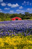 picture of bluebonnets  - Cute red barn framed by a field of bluebonnets and sunflowers - JPG