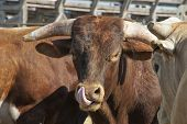 stock photo of chute  - Rodeo bull in a pen behind the chutes - JPG