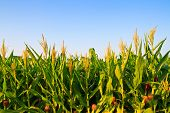image of sugar industry  - Corn plant and flower in the farm against blue sky