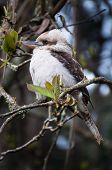 stock photo of fluffing  - Kookaburra feeling the cold with feathers fluffed in a tree - JPG