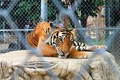 stock photo of tigress  - The big Bengal tiger in the Thai zoo - JPG