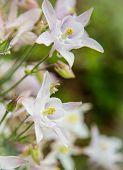 stock photo of columbine  - Columbines blooming fresh in the springtime - JPG