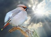 image of bohemian  - The Bohemian Waxwing  - JPG