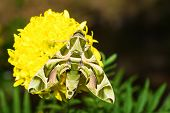 stock photo of hawk moth  - Hawk moth resting on yellow marigold flower - JPG