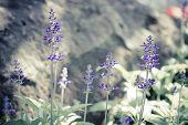 picture of blue-salvia  - Blue Salvia  - JPG