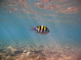 stock photo of sergeant major  - A sergeant major damselfish swims in a shallow lagoon - JPG
