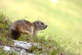 image of marmot  - Marmot on an alpine field - JPG