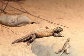 stock photo of terrarium  - Lizard and grasshopper on a sand in the terrarium at zoo - JPG