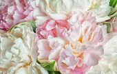 image of fragile  - fresh bright blooming peonies flowers with dew drops on petals - JPG