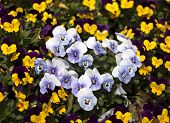 stock photo of viola  - viola tricolor pansy flower bed bloom in the garden.