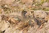 picture of goanna  - Closeup of Monitor Lizard in Chobe National Park - JPG