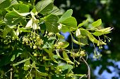 stock photo of lime-blossom  - Linden Tree  - JPG