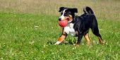 picture of cattle dog  - Appenzell cattle dog running on  the green grass - JPG