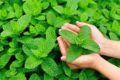 stock photo of mint-green  - woman hands protect mint plant at vegetable garden - JPG