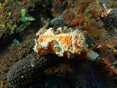 stock photo of slug  - The surprising underwater world of the Bali basin - JPG