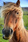 picture of iceland farm  - Closeup portrait of Icelandic Pony on a farm in Iceland - JPG