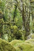 image of epiphyte  - Moss covered Granite Boulders & Oak Trees with epiphytic mosses lichens and ferns
