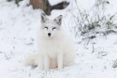 image of arctic fox  - A lone Arctic Fox in a winter scene - JPG