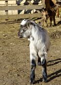 stock photo of baby goat  - Baby goat at farm in early spring - JPG