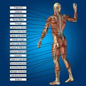 stock photo of triceps brachii  - Concept or conceptual 3D male or human anatomy - JPG