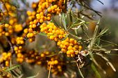 pic of sea-buckthorn  - The branch of a wild sea - JPG