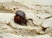 picture of hermit  - Hermit crab walking on golden beach sand having taken up residence in a discarded marine snail shell or gastropod - JPG
