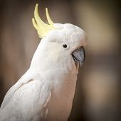 image of cockatoos  - Cheeky cockatoo parrot bird in the Australian bush - JPG