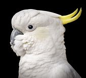 picture of cockatoos  - Stunning portrait of a cockatoo parrot bird against a black background - JPG