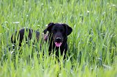 pic of happy dog  - a black dog in a wheat field - JPG