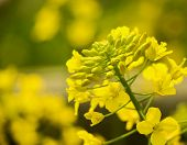 foto of rape-seed  - Close up of rape flower in the filed - JPG