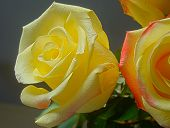 image of rose close up  - Close up photo of bright yellow roses background - JPG
