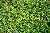 foto of azalea  - Green fence made from azalea in the Emperors Garden Tokyo Japan - JPG