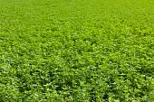 picture of alfalfa  - large alfalfa field background in french country - JPG