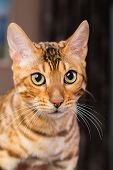 picture of tabby cat  - Portrait of bengal cat close - JPG