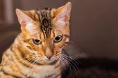 image of bengal cat  - Portrait of bengal cat close - JPG