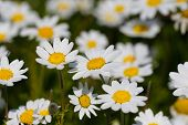 picture of daisy flower  - White daisy flowers - JPG