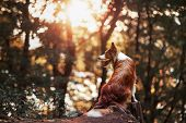 stock photo of collie  - Proud red border collie dog in a sunset forest - JPG