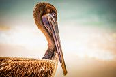 pic of playa del carmen  - Beautiful brown pelican on mexican beach in Playa del Carmen - JPG