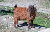 image of baby goat  - A baby brown goat standing on green grass - JPG
