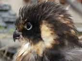 picture of small-hawk  - Small nesting hawk with ruffle feathers on his head - JPG
