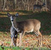 stock photo of black tail deer  - Whitetail deer doe close to an older fawn as it eats - JPG