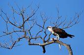picture of osprey  - Osprey  - JPG