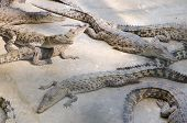 image of crocodiles  - Big crocodiles resting in a crocodiles farmDangerous alligator in wildlife - JPG