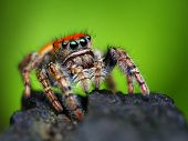 image of jumping  - Phidippus whitmani jumping spider closeup with blurred background