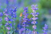 pic of salvia  - Beautiful spring background with Salvia farinacea Benth - JPG